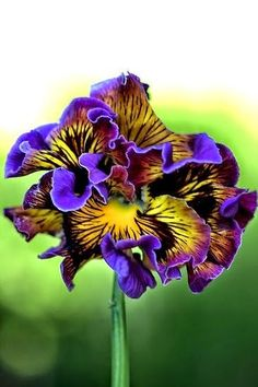 The Frilly Pansy