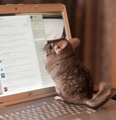 """The Chinchilla Mouse in Funny Ways Pets & Kids Give New Meaning To Home Organization"""" Funny Animals, Animal Funnies, Chinchilla, Home Organization, Meant To Be, Pets, Animal Humor, Chinchillas, Animal Jokes"""