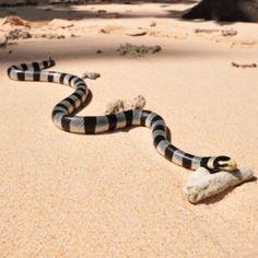 more snakes striking  snake beautiful snakes snake venom