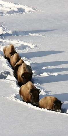 following the snowplow, bison style