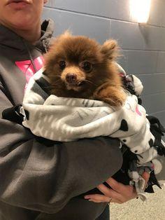 Pomeranian Dog Found Zipped Into Backpack, Dumped and Clinging to Life Near Bosto #pomeranian Dog Found Zipped Into Backpack, Dumped and Clinging to Life Near Boston
