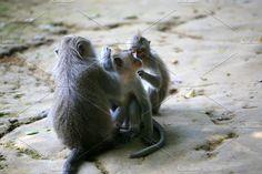 Monkey Forest Ubud, Bali Photos Monkey Forest Ubud, Bali by Krasimira Ilieva