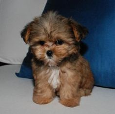 My some day puppy shorkie