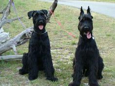 AKC GIANT SCHNAUZER PUPPIES 2014 LITTER WILL BE HERE APPROX END OF MARCH  jnmmeeks@aol.com OR 256. 447. 7913