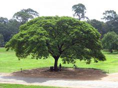 Albizia Saman (Rain tree) how I love it