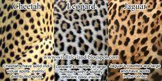 Coat Difference - Cheetah, Leopard, Jaguar See also the difference between Leopard vs. Cheetah, here . Jaguar Spots, Cool Optical Illusions, Animal Print Wallpaper, Leopard Spots, Animal Facts, Leopards, Beautiful Cats, Cheetah Print, Big Cats