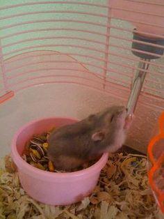 Kiki the Winter White dwarf hamster drinking water