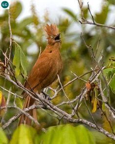 https://www.facebook.com/WonderBirdSpecies/ Rufous cacholote (Pseudoseisura unirufa/cristata); Brazil, Paraguay and Bolivia; IUCN Red List of Threatened Species 3.1 : Least Concern (LC)(Loài ít quan tâm) || Chim tổ lò Cacholote hung; Brazil, Paraguay và Bolivia; HỌ CHIM TỔ LÒ - FURNARIIDAE (Ovenbirds).