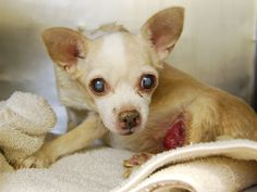 SAFE--Pulled by Next Stop Foreve--SUPER URGENT –TO BE DESTROYED- 04/09/15 – PETRITA – A1032288 – MANHATTAN, NY My name is PETRITA. My Animal ID # is A1032288. I am a female buff chihuahua sh mix. The shelter thinks I am about 10 YEARS old.  I came in the shelter as a STRAY on 04/05/2015 from NY 10473, owner surrender reason stated was STRAY.++NEEDS VET CARE++