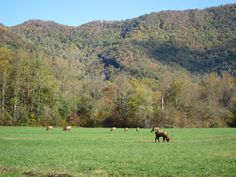 Elk in Great Smoky Mountains National Park