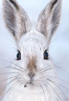 Snow hare//