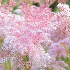 Meadowsweet. Feathery plumes of tiny pink flowers last for several weeks from mid to late summer. Does well at the back of a border. Gather into a bouquet for a light and airy arrangement.
