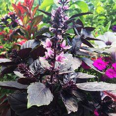 """Purple Petra #basil seed from #botanicalinterests #garden"" - thriftychichome (Instagram)"