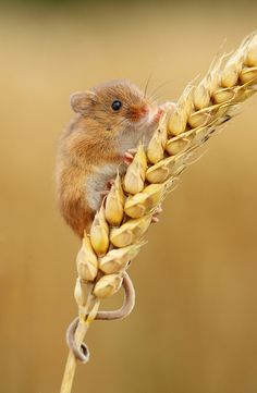 """Harvest mouse occurs in sedge fields, but you need great luck even to glimpse one."" 52 Wildlife Weekends www.bradtguides.com"