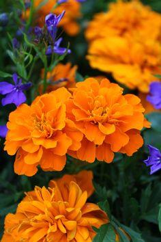 Only the beautiful Rose Reference, Nothing But Flowers, Orange Plant, Marigold Flower, Orange Aesthetic, Botanical Flowers, Calendula, Flower Farm, Zinnias