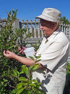 Игорь Алексеевич Хавронов собирает ягоды в саду