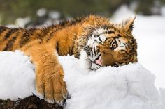 A bit of rest after having fun in the snow. Gorgeous Siberian Tiger kitty. I love his expression and the eyes.