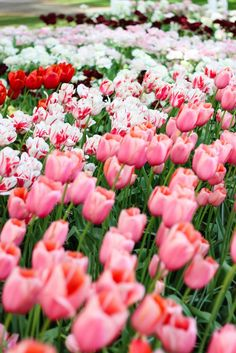 Pink tulips, The Netherlands