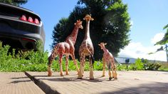 https://flic.kr/p/KWi9MH | Getting Ready to Explore the Yard | Giraffes on vacation