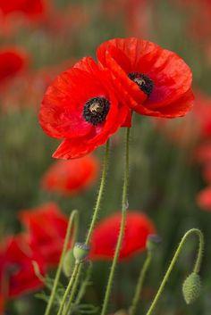 Flower Images, Flower Photos, Flower Art, Flowers Nature, Wild Flowers, Poppy Flowers, Poppy Photography, Blossom Garden, California Poppy