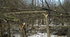 Hinge cutting can do a lot for your deer property. Click through for the details.