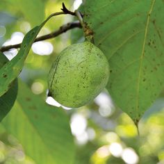 Thanks to a lucky discovery made in Michigan, Tom Fox now grafts and grows pawpaw cultivars on his family's farm.