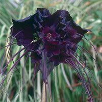 Amazon.com: 5 BAT FLOWER (Cats Whiskers / Devil Flower) Tacca Chantrieri Flower Seeds: Patio, Lawn & Garden