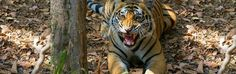 Enjoy #tigers #tours in #Ranthambore #Nationalpark with #safari which is also famous as the tiger hub of India.