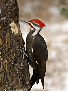A favorite of backyard birders, the handsome Pileated Woodpecker is too big for most feeders but commonly nests in wooded suburbs where dead trees are left standing.