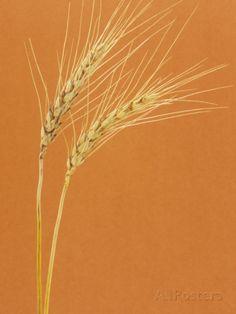 Ripe Wheat (Triticum Aestivum) Reproduction photographique