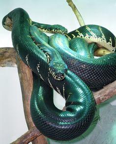 Adult pair of Boelen's pythons (Morelia boeleni)