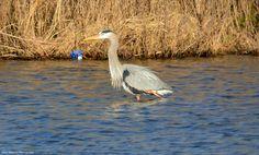 Blue Heron in Lake Luxembourg.