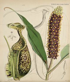 Carnivorous plant Nepenthes rafflesiana from Curtis's botanical magazine, plate 4285 (1847) is a pitcher plant from Borneo, Sumatra, Malaysia and Singapore. Nepenthes rafflesiana has pitcher traps up to 35cm long.