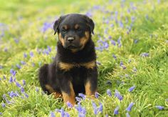 Rottweiler How to Train a Rottweiler Puppy (Are They Easy to Train?) - Are you having troubles training your Rottweiler, or thinking about choosing a Rottweiler puppy? Maybe you are worried about your Rottweiler having Rottweiler Puppies For Sale, Rottweiler Dog, Cute Puppies, Cute Dogs, Lab Puppies, Rottweiler Facts, West Highland Terrier, Scottish Terrier, Big Dogs