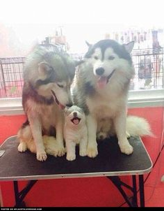 Cute Malamute Family ::: Visit our poster store Rover99.com