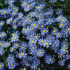 Blue Marguerite (Felicia amelloides) flowers for much of the year. Frost, sun to part shade