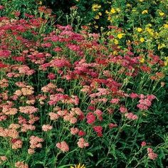 Yarrow from High Country Gardens
