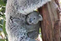 Meet the first Koala joey of the season at Taronga Zoo - at Zooborns.com and at http://www.zooborns.com/zooborns/2014/07/first-koala-joey-of-the-season-at-taronga-zoo.html