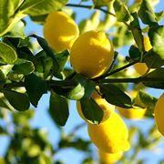 Limoni - limone