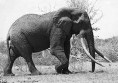 Satao was a 45-year-old Kenyan elephant with tusks so long they brushed the ground. Poachers killed him in June with a poisoned arrow. African leaders gathered in Washington said there needs to be better cooperation on the continent to prevent poaching. Кане Корсо, Сфинкс, Питбультерьер, Ротвейлер, Природа, Слоны, Африканский Слон, Домики Для Птиц, Права Животных