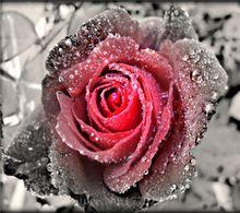 Nieuwe 5D Diy Diamant Schilderij bloem Kruissteek vierkante diamant Strass Pictures van Kristallen Borduren Patchwork rose(China (Mainland))