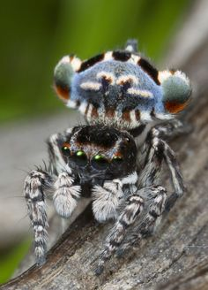 """Most people you ask would be hesitant to describe arachnids as """"cute,"""" but that's probably because they've never laid eyes on a peacock spider."""