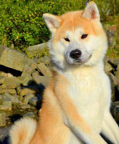 Akita - Arrow The Japanese Akita Inu Japanese Dog Breeds, Japanese Dogs, Akita Puppies, Akita Dog, Animals And Pets, Funny Animals, Cute Animals, American Akita, Hachiko