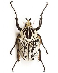 10 of the largest insects in the world - Butterfly /Insekten / Libellen / - Animales Beetle Insect, Beetle Bug, Insect Art, Cool Insects, Bugs And Insects, Reptiles, Goliath Beetle, Cool Bugs, Carapace