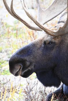 Moose in Grand Teton National Park Wyoming, by Chris J. - ever see a moose nose up close! :D - Candy Beautiful Creatures, Animals Beautiful, Cute Animals, Zoo Animals, Wild Animals, Moose Pictures, Animal Pictures, Hunting Pictures, Bull Moose