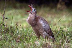 Foto seriema (Cariama cristata) por Roberto Gallacci   Wiki Aves - A Enciclopédia das Aves do Brasil