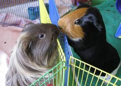Piggy Kiss - Photo Credit To PokeyPig - (guineapigcages)