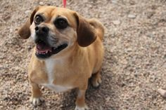 Kylie is an adoptable pugglee in Fort Collins, CO. Check out the rest of her pictures, this little gal clearly has a BIG personality!