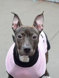★1/26/16 STILL THERE★Brooklyn Center SOPHIE – A1062556 FEMALE, BLACK / BR BRINDLE, AM PIT BULL TER MIX, 7 mos OWNER SUR – EVALUATE, NO HOLD Reason PERS PROB Intake condition EXAM REQ Intake Date 01/09/2016, From NY 11212, DueOut Date 01/09/2016,