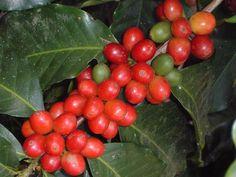 granos de cafe - Buscar con Google